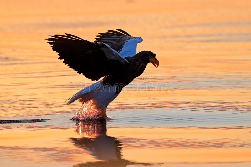 Sunrise in ocean. Beautiful Steller`s sea eagle, Haliaeetus pelagicus, morning sunrise, Hokkaido, Japan. Eagle floating in sea on royalty free stock photography