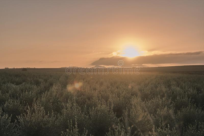 Sunrise in an olive grove stock image