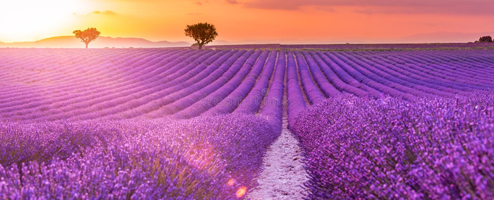 Sunrise over blooming fields of lavender on the Valensole plateau in the Provence in southern France. Amazing summer landscape. stock photos