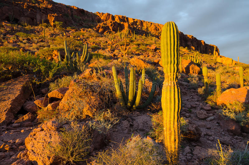 Sunrise over cactus in the mexican desert royalty free stock photos