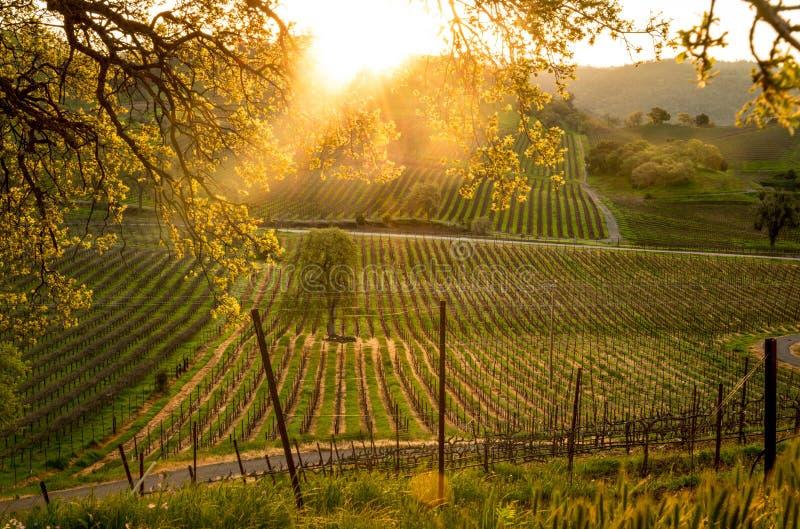 Sunrise over the California vineyard stock photos