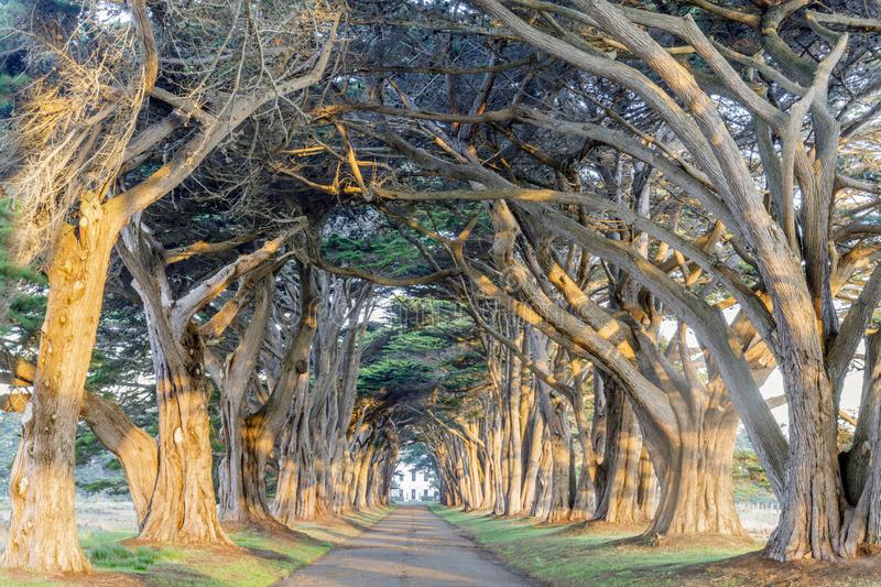 Sunrise over Cypress Tree Tunnel. Signature `tree tunnel` of Monterey Cypress near Inverness at Point Reyes National Seashore, Marin County, California, USA royalty free stock photo