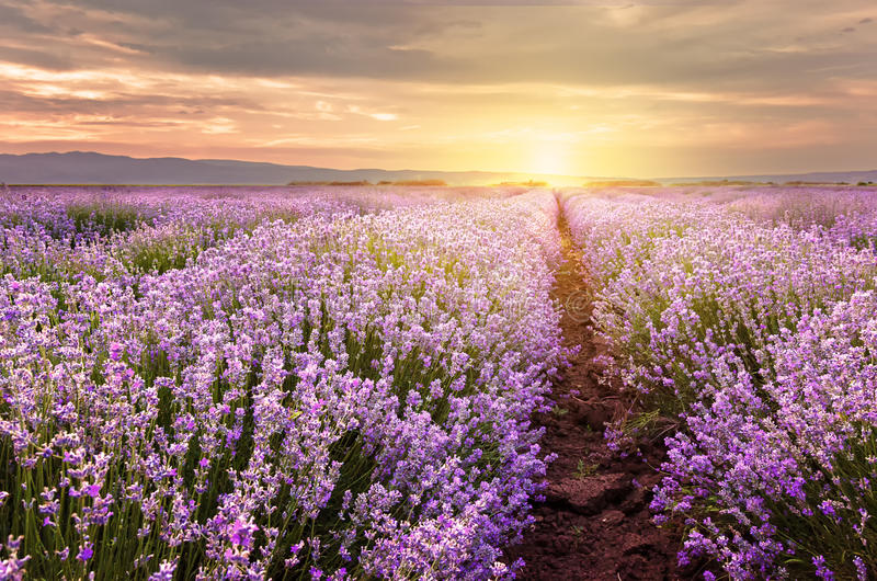Sunrise over lavender field in Bulgaria royalty free stock images
