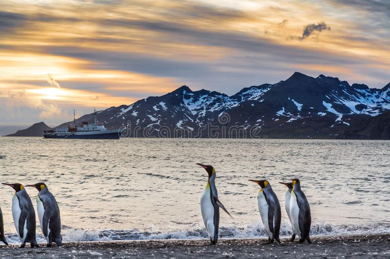 Sunrise over St. Andrews bay in South Georgia with King Penguins. Sunrise over St. Andrews bay in South Georgia with small flock of walking King Penguins stock photography