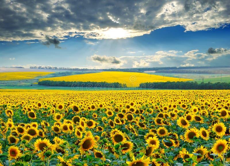 Sunrise over sunflower fields royalty free stock image