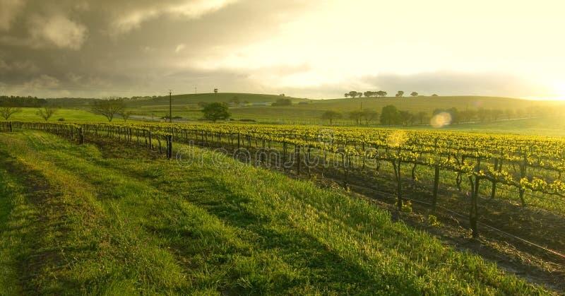 Sunrise over the Vineyard royalty free stock photo