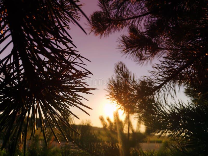 Sunrise with pine tree nature evening royalty free stock photo