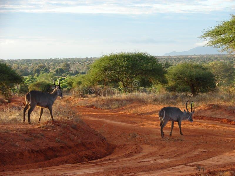 Sunrise in the savanna stock images