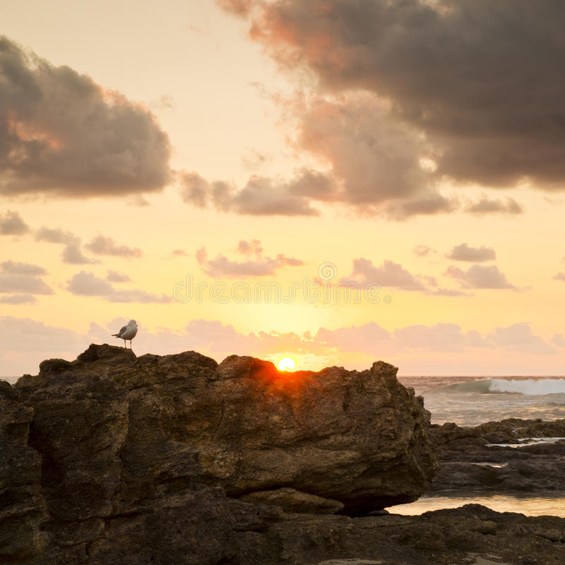Download Sunrise Seagull On Rocks Stock Images - Image: 36111034