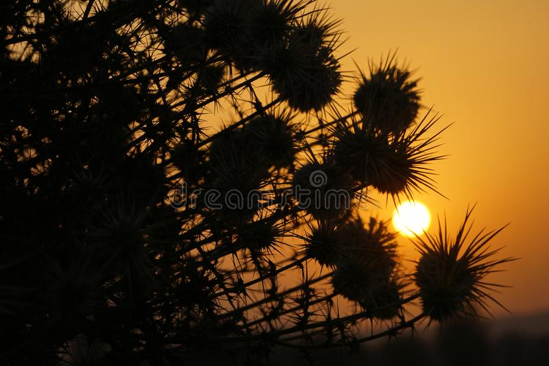 The sunrise and silhouettes of thorn bushes. The silhouettes of thorn bushes in the sunrise royalty free stock photos