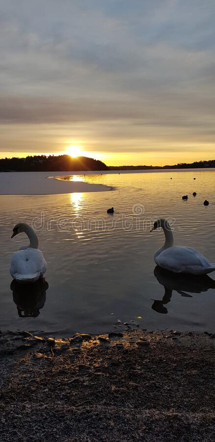 Sunrise swan swans lake winter sweden. Sunrise swan swans lake winter stock image