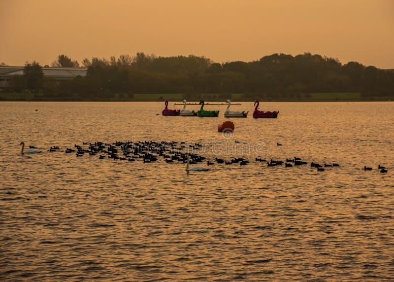 Sunrise with swans at Willen Lake, Milton Keynes. United Kingdom stock images