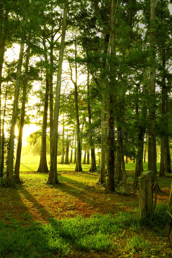 Sunrise Through the Trees stock image