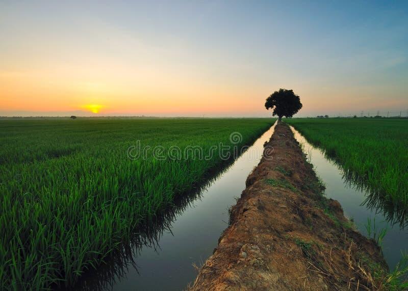 Sunrising en el campo de arroz foto de archivo libre de regalías