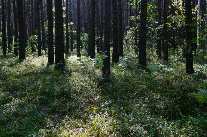 sunrshine dans la forêt près de Shatsk photographie stock