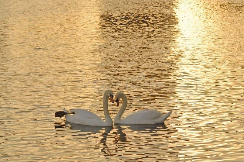 sunset łabędzia. obraz royalty free