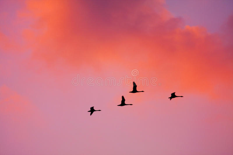 Sunset. A few swan are flying in sunset stock images
