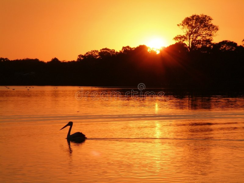 Sunset. A lone Pelican drifts accross this pretty lake in Noosa Australia