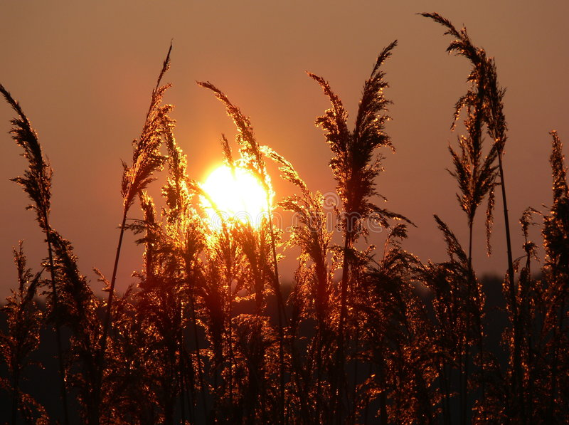 Download Sunset stock photo. Image of holiday, plant, pollen, shine - 462708
