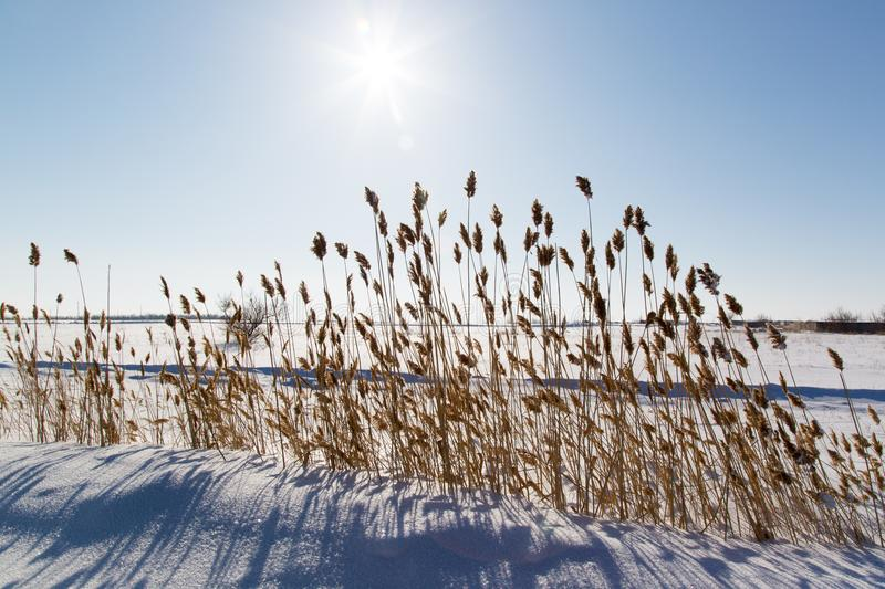 Sunset against the background of dry reeds in winter. Dry reed on a background of sunset in the steppe stock image