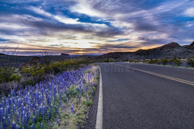 Sunset in Big Bend with blue bonnets along the road. Sunset in Big Bend with blue bonnets and desert plants lit along the road royalty free stock images