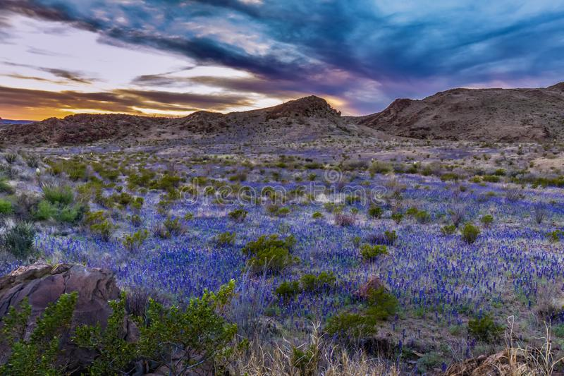Sunset in BIg Bend with superbloom of blue bonnets. Stretch across the desert floor stock images