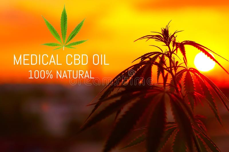 Sunset cannabis field. Marijuana plants. CBD oil cannabis extract, medical concept stock images