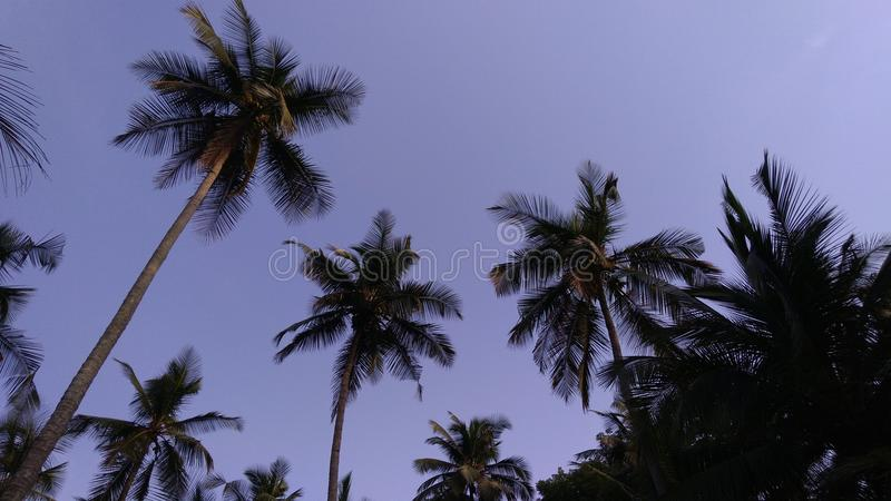 Sunset coconut royalty free stock photography