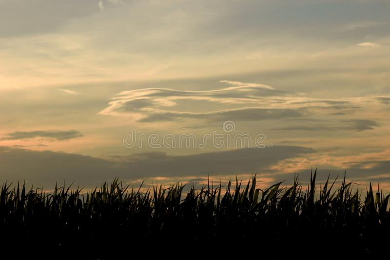 Sunset and corn. Sunset on the field with a beautiful sunset royalty free stock photos