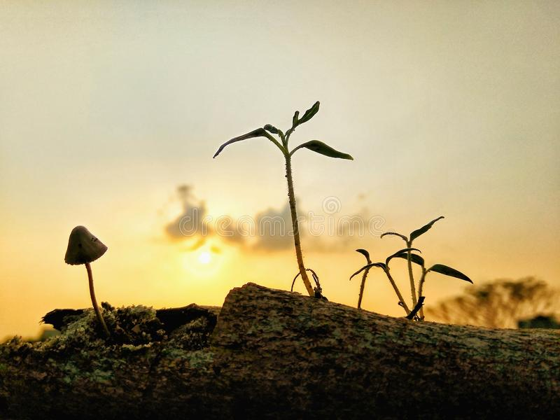 The sunset, curse or blessing?. One of the plant is mushroom and another one is a green tree. But the mushroom shun the sunshine and the green tree waits royalty free stock photography