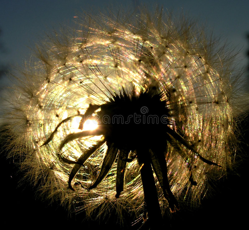Sunset and Dandelion stock photography