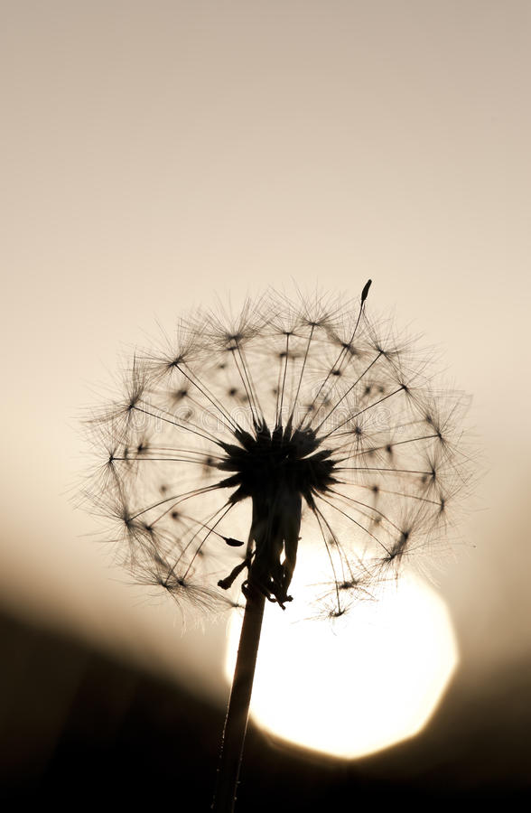 Sunset Dandelion Macro. A macro shot of a dandelion as the sun sets behind it royalty free stock photography