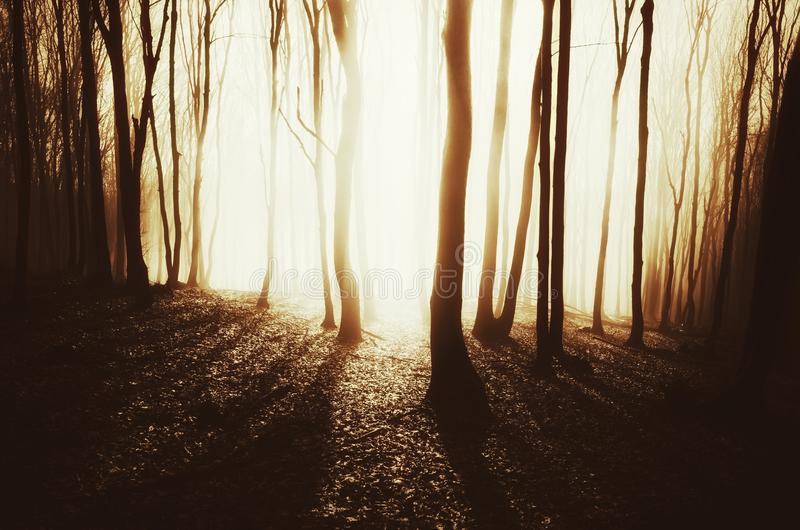 Sunset in enchanted forest with fog and bright sun rays stock images