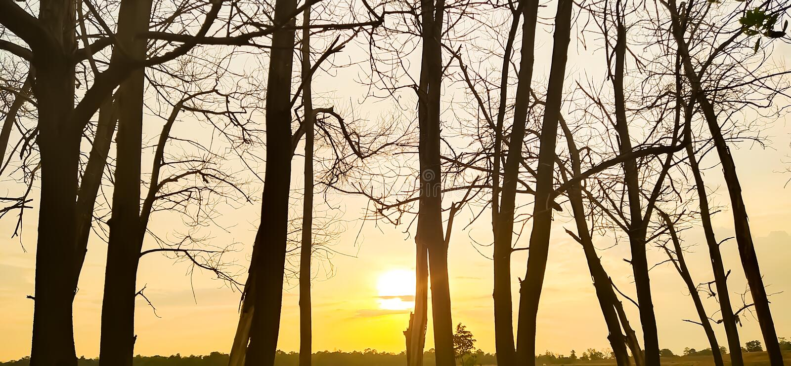 Sunset evening golden light glowing wilted tree Beauty from the shadows wilted trees royalty free stock photos