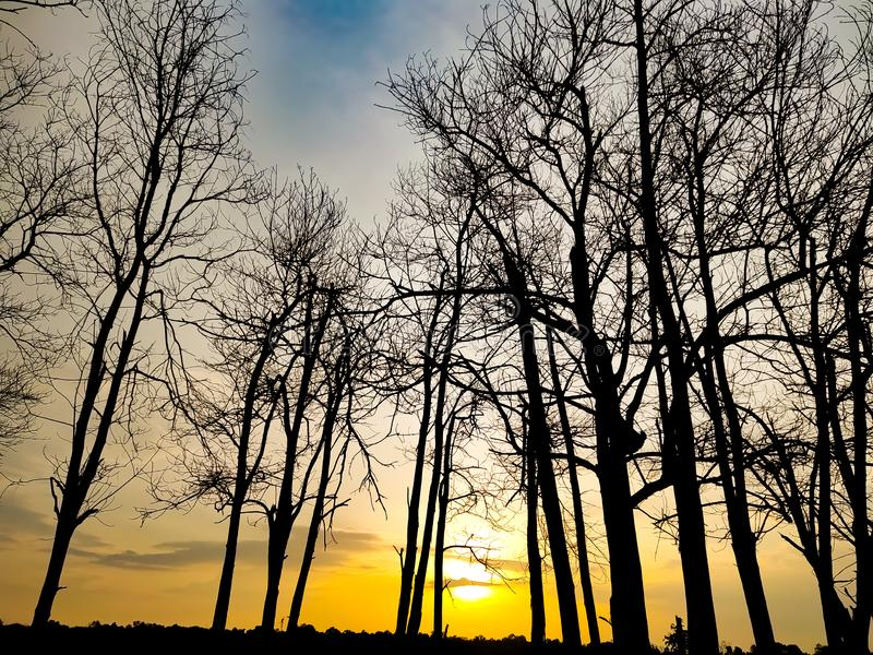 Sunset evening golden light glowing wilted tree Beauty from the shadows wilted trees. Sunset in the evening, golden light glowing on the wilted tree Beauty from royalty free stock photos