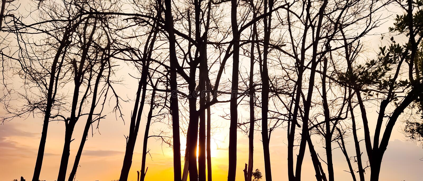Sunset evening golden light glowing wilted tree Beauty from the shadows wilted trees royalty free stock photo