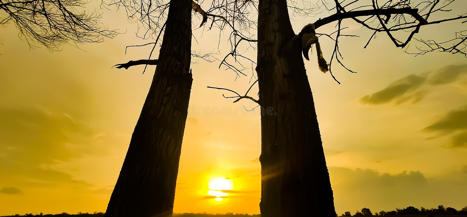 Sunset evening golden light glowing wilted tree Beauty from the shadows wilted trees. Sunset in the evening, golden light glowing on the wilted tree Beauty from stock images