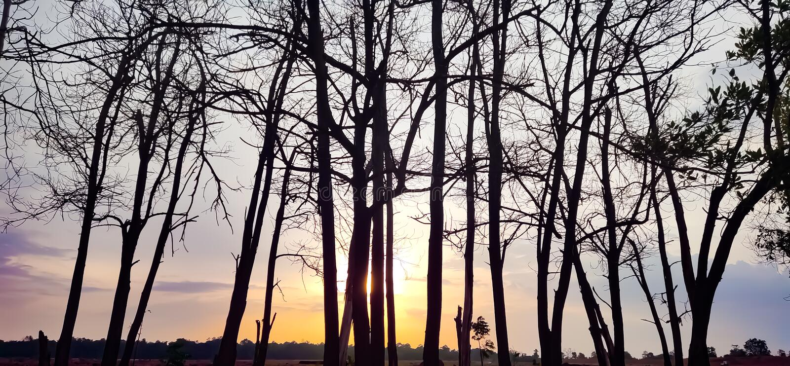 Sunset evening golden light glowing wilted tree Beauty from the shadows wilted trees. Sunset in the evening, golden light glowing on the wilted tree Beauty from stock photography