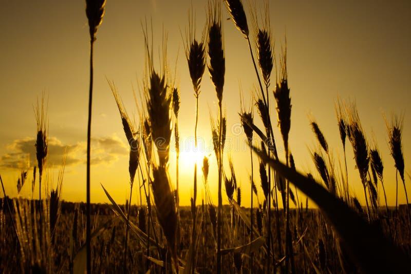 Download Sunset on field stock photo. Image of sundown, harvest - 24145348