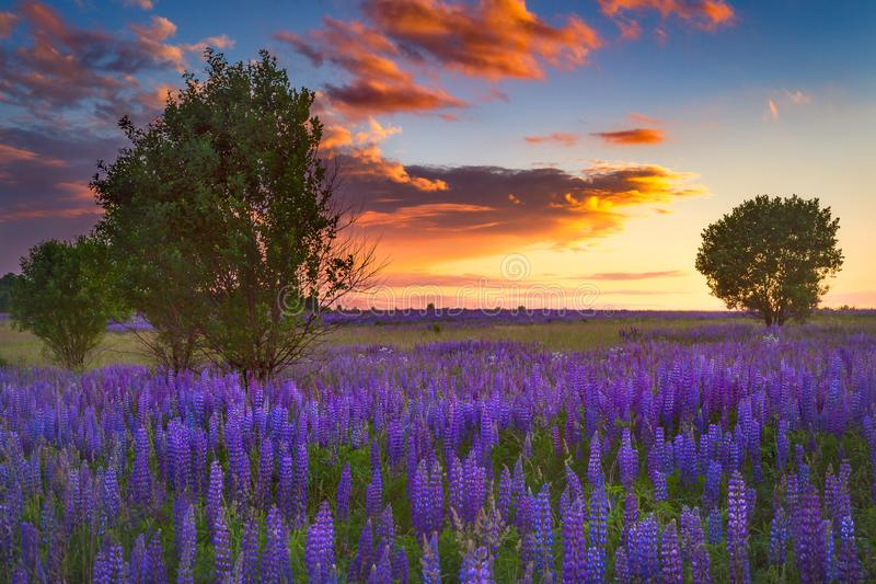 Sunset in the field of flowers royalty free stock photography