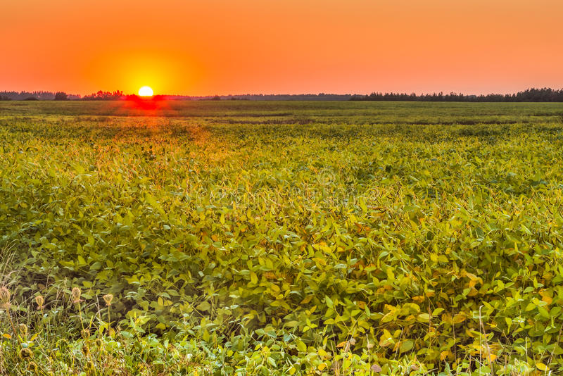 Sunset in the field of ripe beans. This photo was taken in a field not far from Kiev royalty free stock images