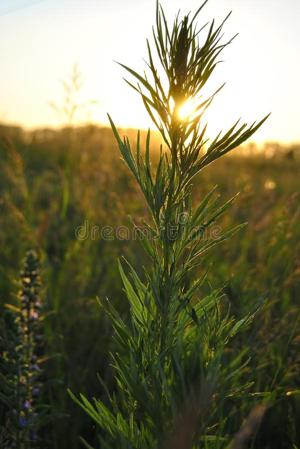 Sunset in the field. Sunset in field on a summer eveningn royalty free stock image