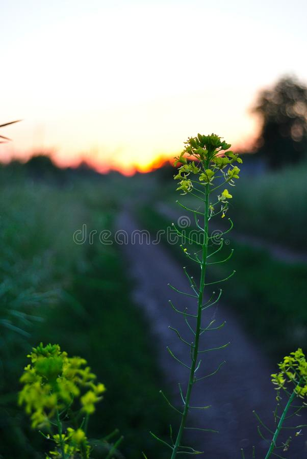 Sunset in the field. Sunset in field on a summer eveningn royalty free stock photo