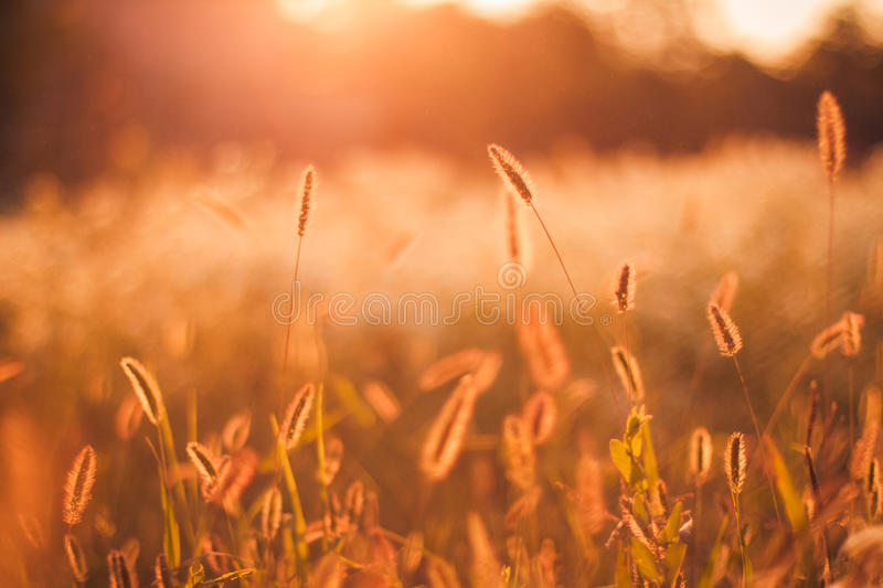 Sunset on field. Sun rays yellow wheat field on the sunset cloudy orange sky background stock photos