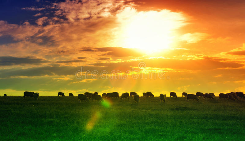 Sunset and field wallpaper. Vivid sunset and field with sheep wallpaper royalty free stock images