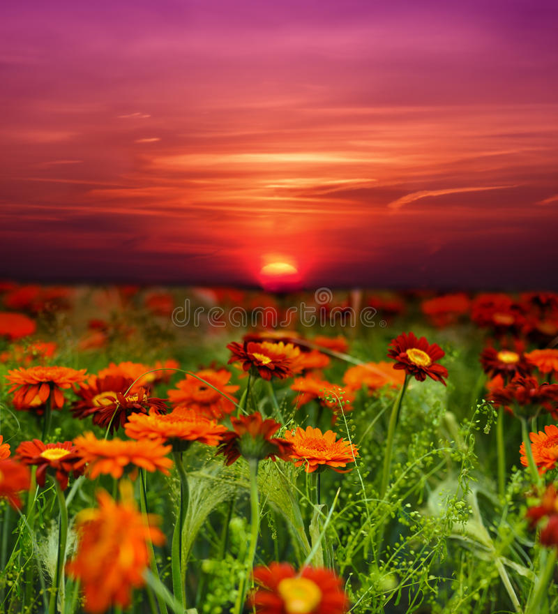 Free Sunset Flower Field Royalty Free Stock Images - 16195019