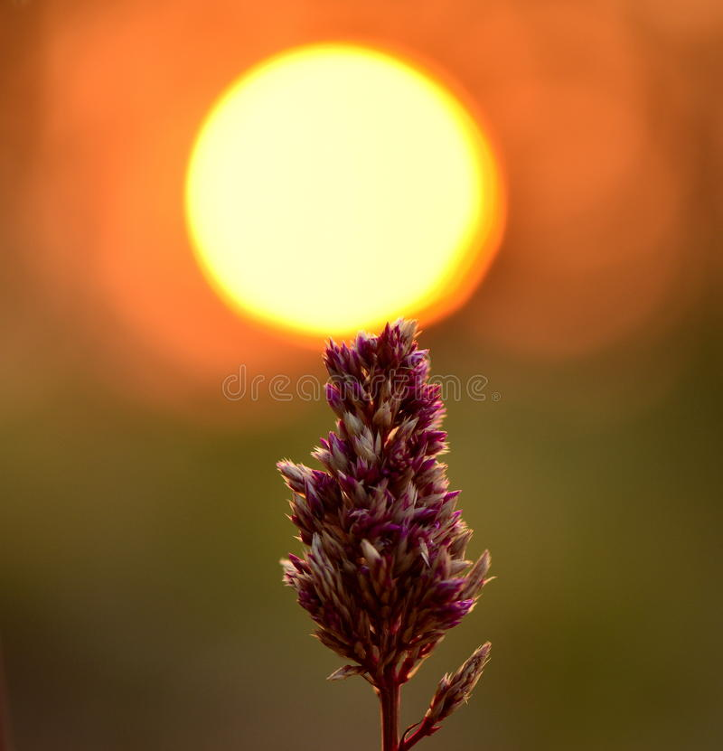 Sunset flowers stock photos