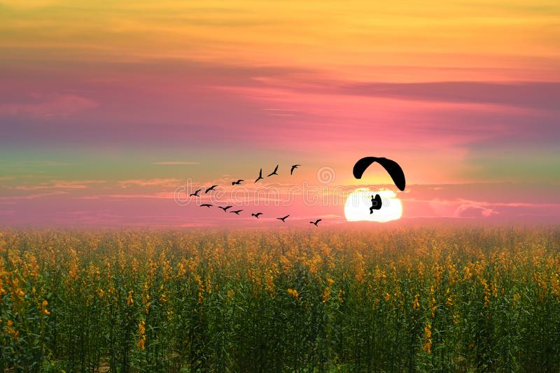 sunset flying birds and silhouette paramotor over sun hemp field royalty free stock photography