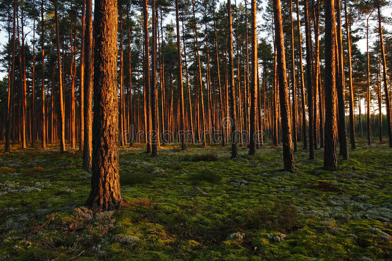Sunset in a forest stock image