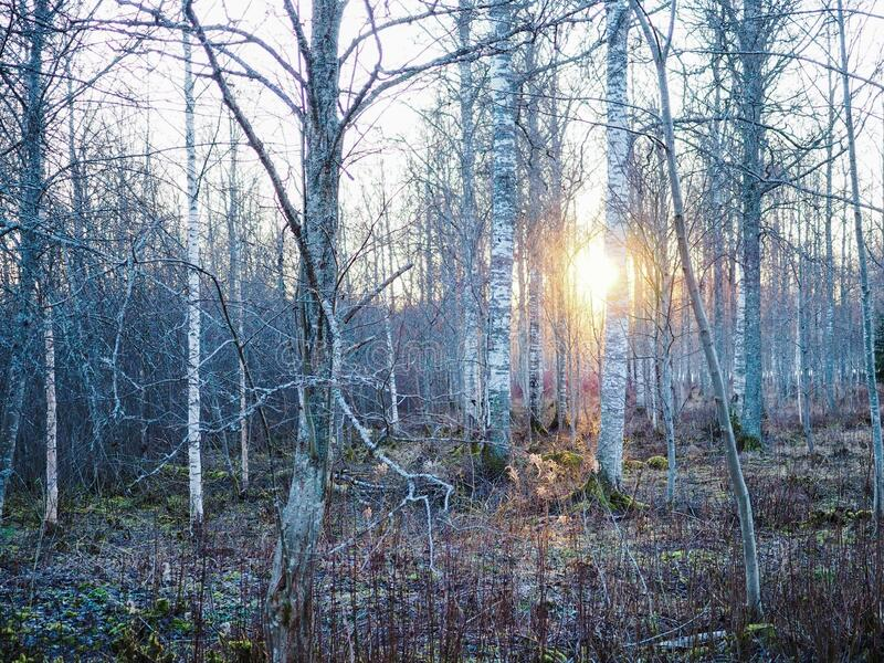 Sunset in forest royalty free stock images